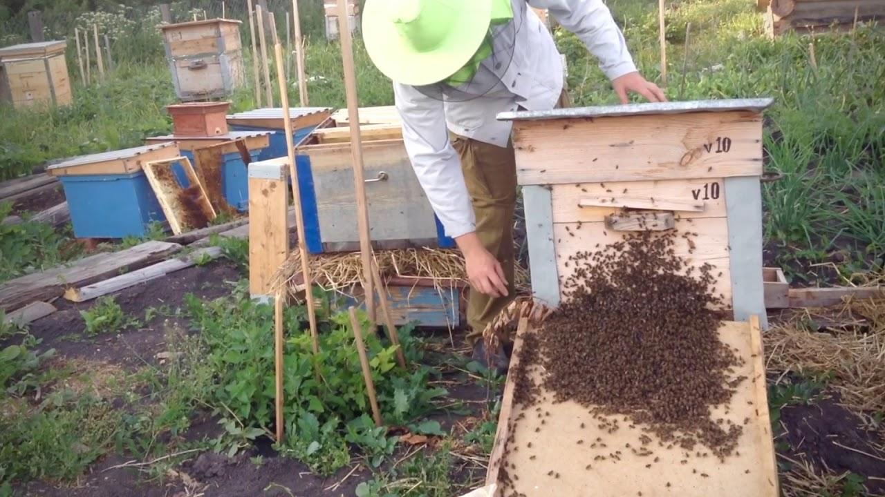 Работа с пчелиным роем на пасеке Ивана Халилова
