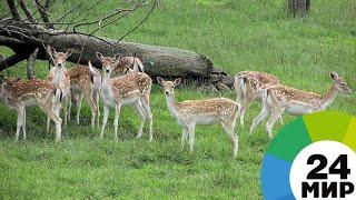 В Беларуси возрождают популяцию ланей - МИР 24