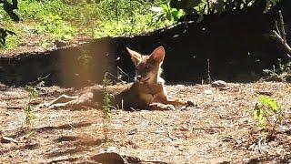 Red Wolf Pup Yogi