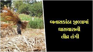 Acute shortage of fodder in Banaskantha district ॥ Sandesh N…