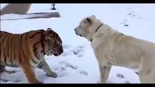 Волкодав против тигра