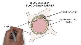 2-Minute Neuroscience: Blood-Brain Barrier