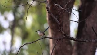 ホオグロオーストラリアムシクイのダンス