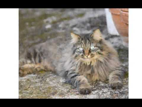 Domestic Longhair Cats