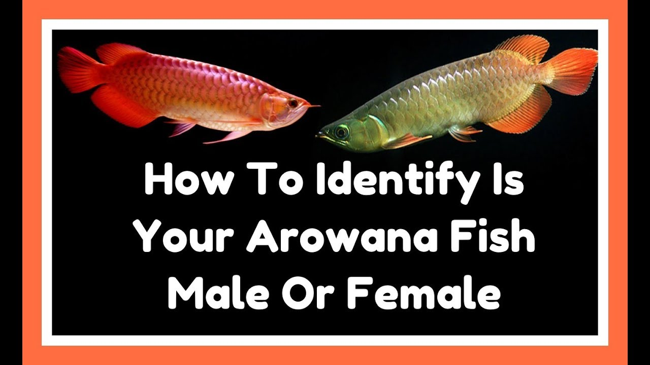 Whats The Actually Differences Between Arowana Fish In -1904