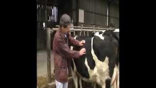 Examen du flanc gauche d'un bovin ruminant
