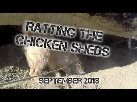 Ratting the chicken sheds Sept 18 Part 1