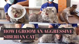 How I Groom an Aggressive Siberian Cat (Tagalog Version)    Bunny TV
