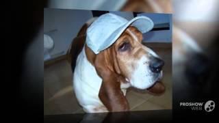 Бассет-хаунд порода собак