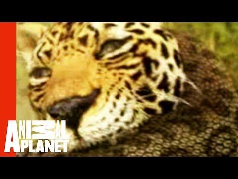 Animal Face-Off: Anaconda vs. Jaguar