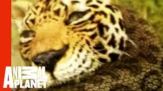 Animal Face-Off: Anaconda vs. Jaguar
