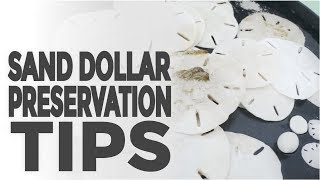 Sand Dollars Collecting and Preservation Tips