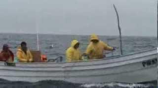 Marcando (tagging) tiburones en Bahía Sebastián Vizcaíno