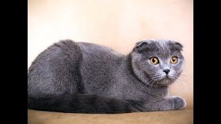 Scotish Fold Cats: 11 FACTS