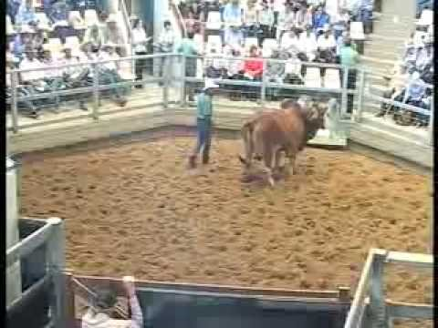 ROCKHAMPTON BRAHMAN WEEK 2008 LIVE WEBCAST LOT370