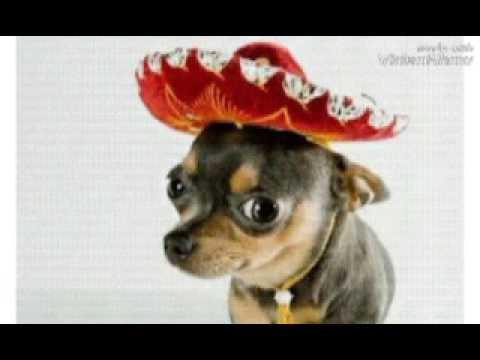 La Historia Y Origen Del Perro Chihuahua