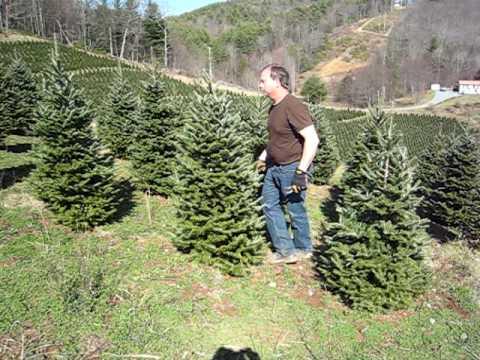 Shearing Christmas Trees - YouTube