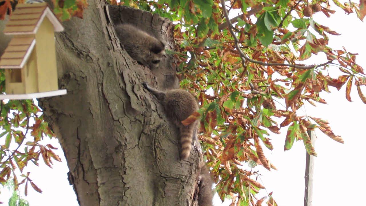 Raccoon Family Playing in the Tree in my Backyard - YouTube