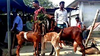 Goat market / হাট থেকে তোতাপুরি, হরিয়ানা সহ উন্নত জাতের ছাগল কিনতে দাম জানুন / BD Life Trailer