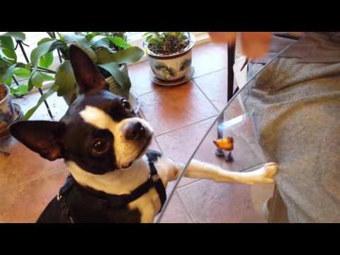 Boston terrier puppy high tea time