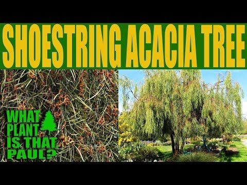 Shoestring Acacia Tree - An evergreen tree that offers filtered shade