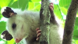 Opossum, Where Art Thou?  Rescue, Rehab, and Release