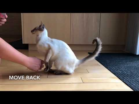 Balinese Cat Darci Agility Training and New Tricks