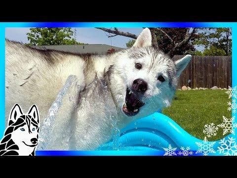 HUSKY POOL PARTY | Huskies Beat the Heat
