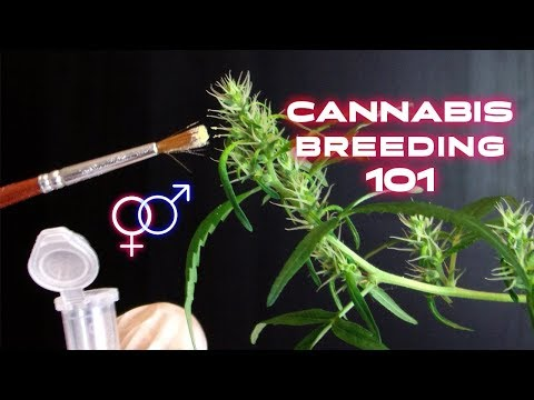 How To Create a New Cannabis Strain - Cannabis Breeding Methods - Khalifa Genetics