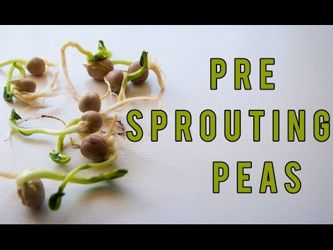 Germinating and Growing Peas by Pre Sprouting