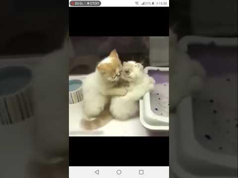 Cat couple massage each other