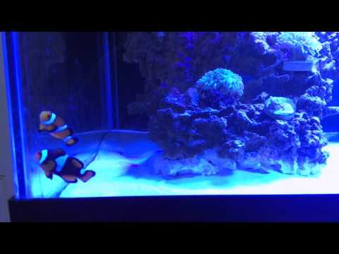 How To Add Saltwater Fish To Your Aquarium (Acclimate)