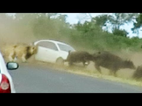 Thumbnail: Lions Chase Buffaloes Into Tourist's Car
