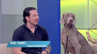 HeralDog   Raúl Chanes, criador de weimaraner   #PerrosPremier