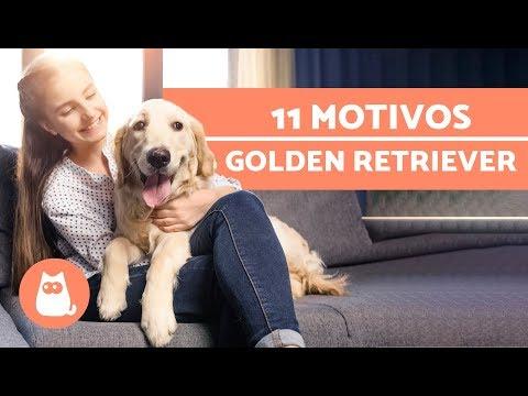 10 MOTIVOS que hacen a los GOLDEN RETRIEVER perros increíbles