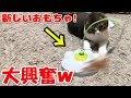 猫じゃらしのおもちゃに大興奮な子猫【スコティッシュフォールド】【Scottish Fold】