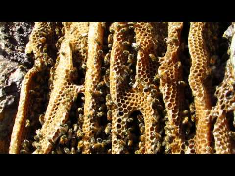 Wild Bee Hive along the Gila River Arizona