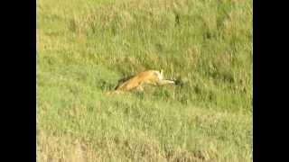 10分後、バッファローは横たわります。その後一匹のライオンはどこかへ...