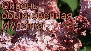 Сирень обыкновенная Мулатка (syringa vulgaris) ???? Мулатка обзор: как сажать, саженцы сирени Мулатка