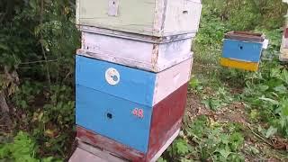 постоянные отравы пчел - становится востребованной пчела которая не летит на отравленные поля