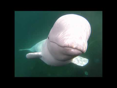 Delana's Dish - Watch this Beluga Whale steal a guys go pro, then return it