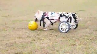三郎、新ボールではりきってサッカー開始 車イスでも上手にサッカー.