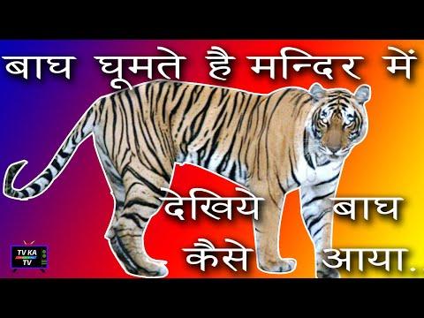टाइगर (बाघ )