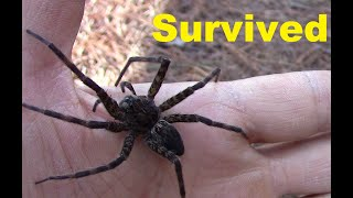 Bees attacked huge immortal spider. Update on the fishing spider. thumbnail