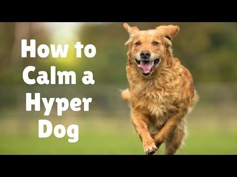 Crazy big dog! Why is my dog so hyper? 10 steps to calm a hyper dog! Tips on high-energy dogs