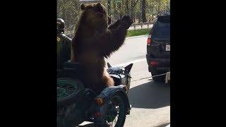 По столице Коми на мотоцикле разъезжает настоящий медведь