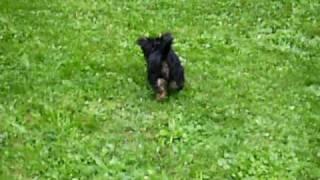 Yorkshire Terrier Welpen Cosimo Am Spielen