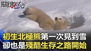 初生小北極熊第一次見到雪的萌樣…卻也是殘酷生存之路開始! 關鍵時刻 20180612-3 朱學恒