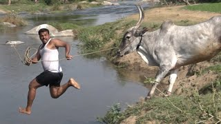 Big boss Jallikattu Bulls running for swimming ! Beerjepalli Raghu bull Jogi