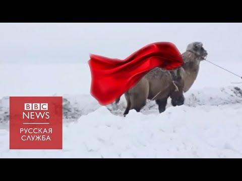 Верблюд вытаскивает 'Ниву'